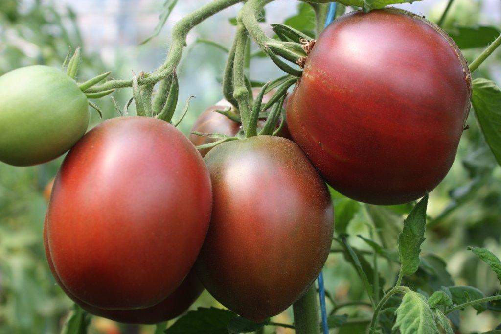 Purpura tomāts (stāds podiņā)