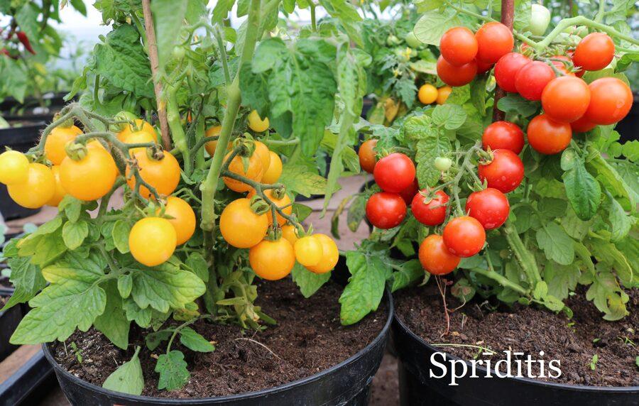 Sprīdītis, dzeltens un sarkans (tomātu sēklu komplekts, 15+15 gab.)
