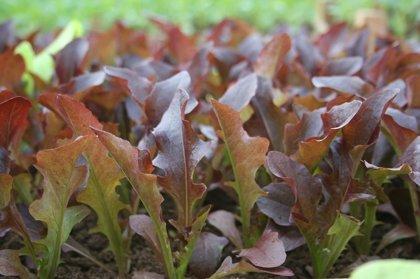 Lapu salāti, krāsainām lapām