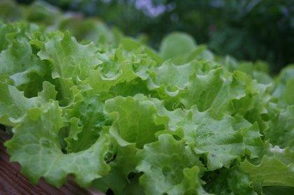 Ledus galviņu salāti