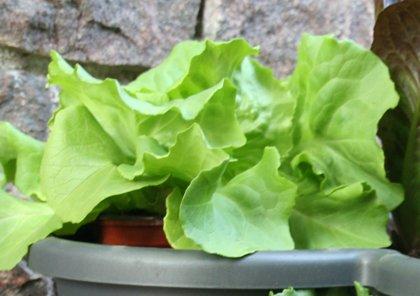 Sviesta galviņu salāti