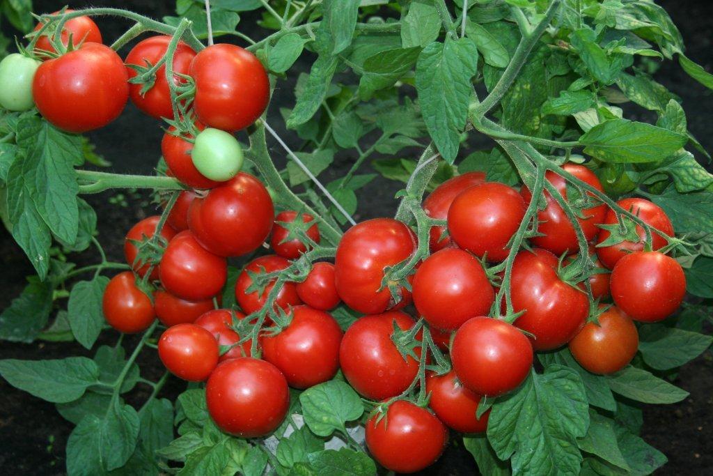 Septītais rūķītis (tomātu sēklas, 20 gab.)