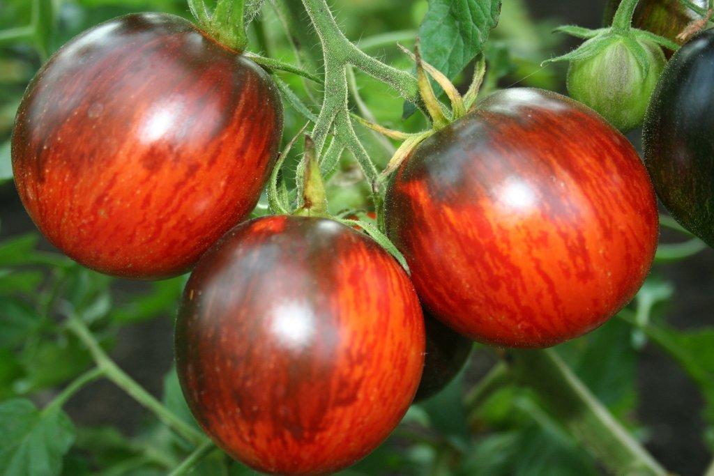 Gargamele (tomātu sēklas, 15 gab.)