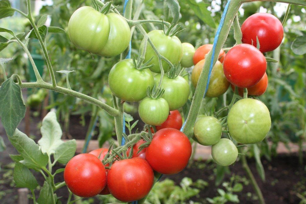 Amatieris (tomātus sēklas, 20 gab.)