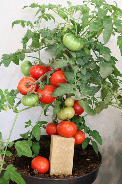 Sanktpēterburgas tomāts (tomātus sēklas, 20 gab.)