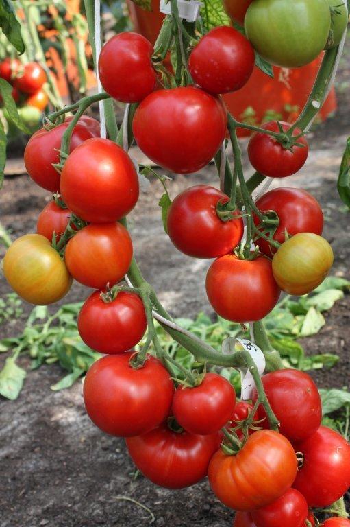 Agrās mīlas āboli (tomātu sēklas, 20 gab.)
