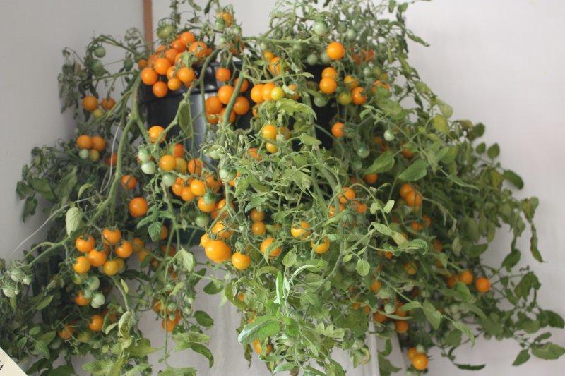 Akrobāts Toms, dzeltens (tomātu sēklas, 20 gab.)