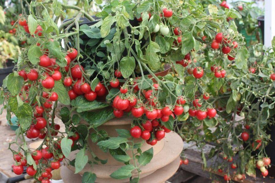 Tris dažādi nokarenie tomāti
