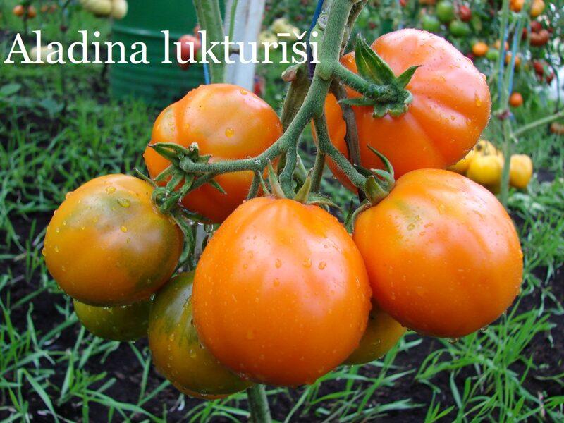 Aladina lukturīši (tomātus stāds bez podiņa)