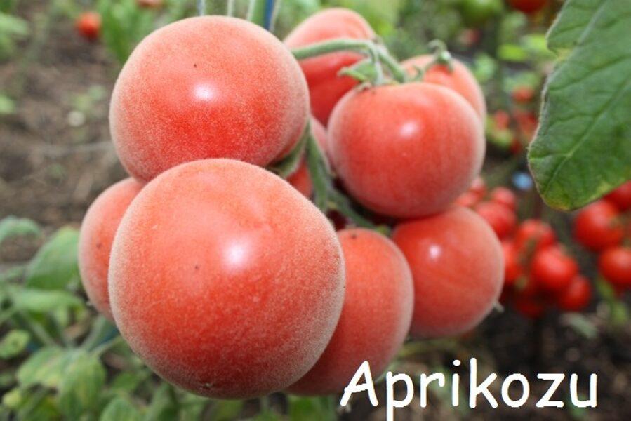 Aprikožu tomāts (stāds podiņā)