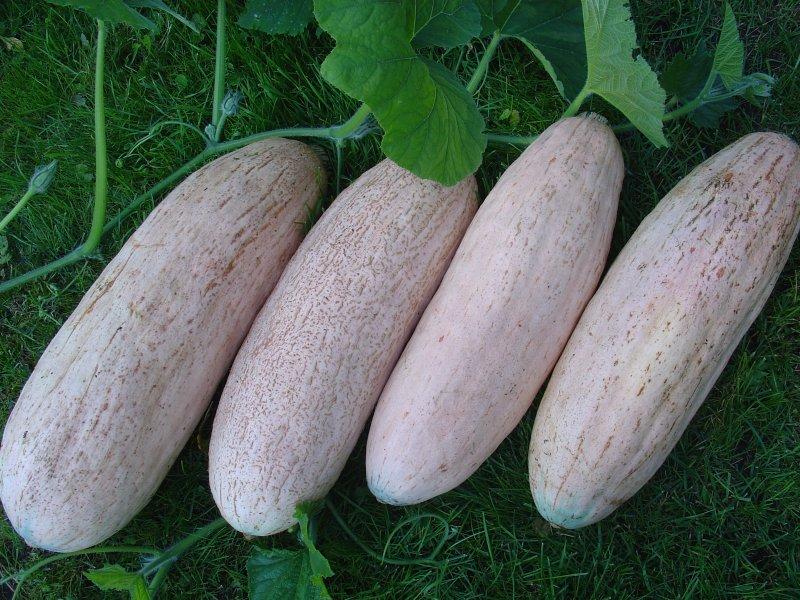 Rozā banāns (ķirbju sēklas, 5 gab.)