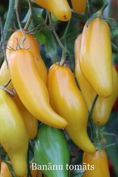 Banānu tomāts (stāds bez podiņa)