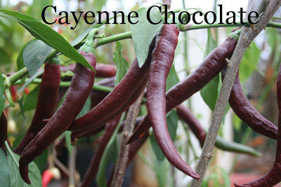Cayeene chocolate (7*) (stāds podiņā)