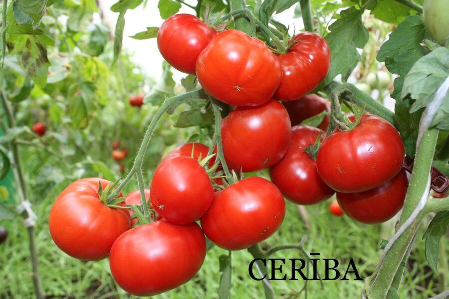 Cerība (tomātu sēklas, 20 gab.)