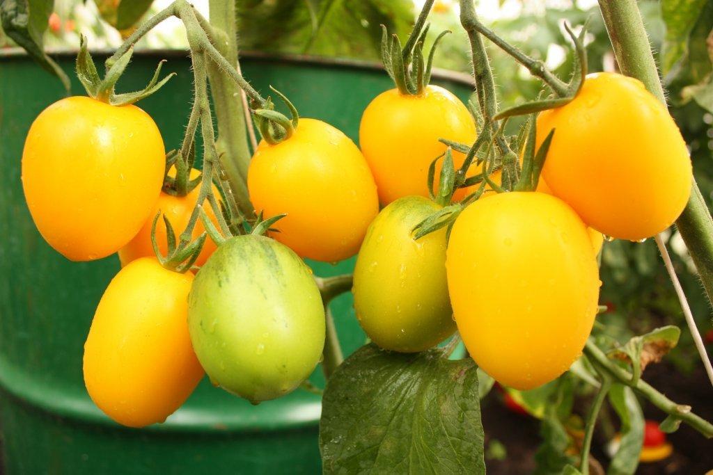 Plūmveida tomāti, konservēšanai
