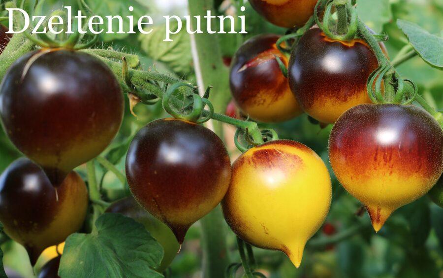 Dzeltenie putni (tomātus sēklas, 15 gab.)