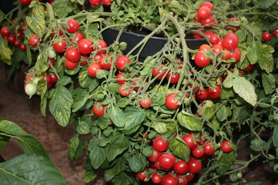 3 stādi Saldā dzērvenīte (rozā krāsā) (tomātu stāds iekaramā podā)