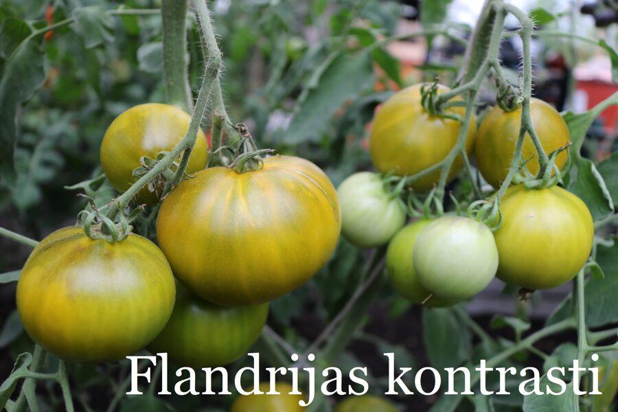 Flandrijas kontrasti (tomātu sēklas, 15 gab.)