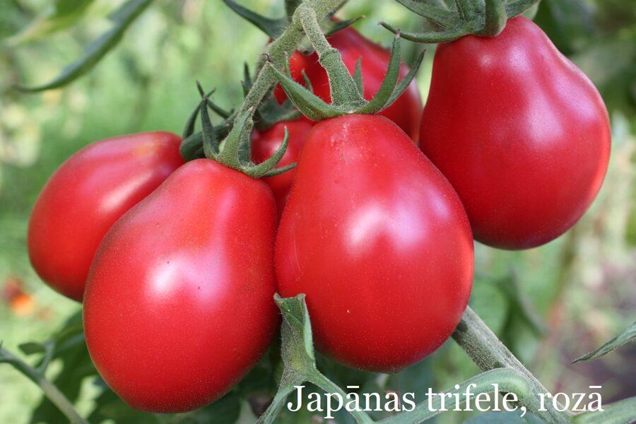 Japānas trifele, rozā (tomātu stāds bez podiņa)