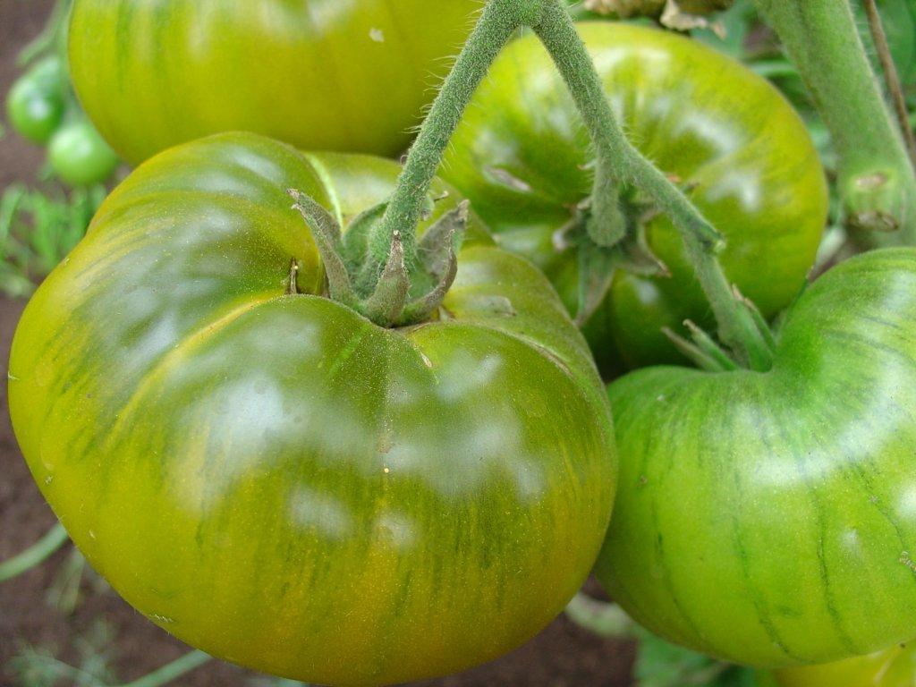 Kivi tomāts (tomātu sēklas, 15 gab.)