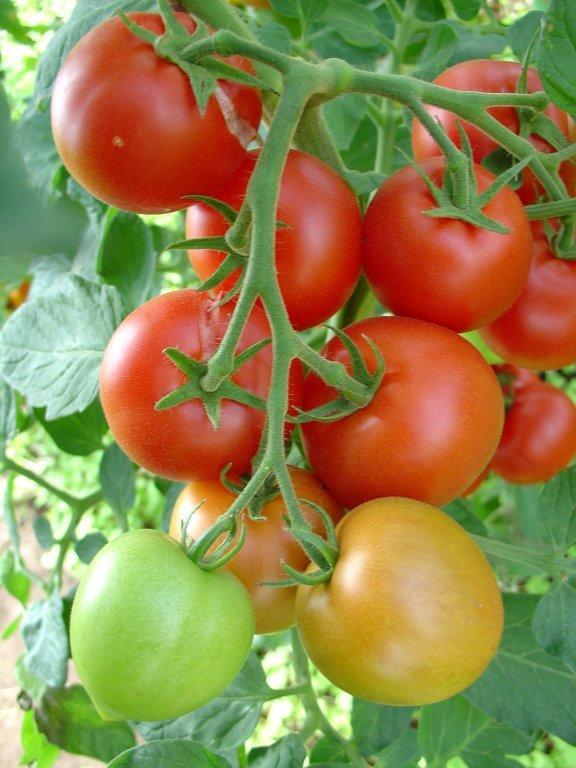 Kurato (tomātus sēklas, 20 gab.)