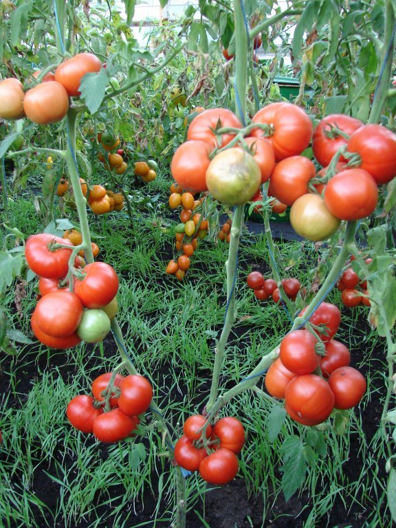 Naudas koks (tomātus sēklas, 20 gab.)