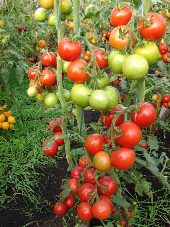 Naudas taisītājs (Money Maker) (tomātus sēklas, 20 gab.)