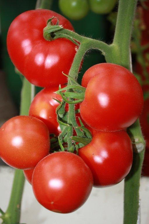 Neslinko Kondīne (tomātus sēklas, 20 gab.)