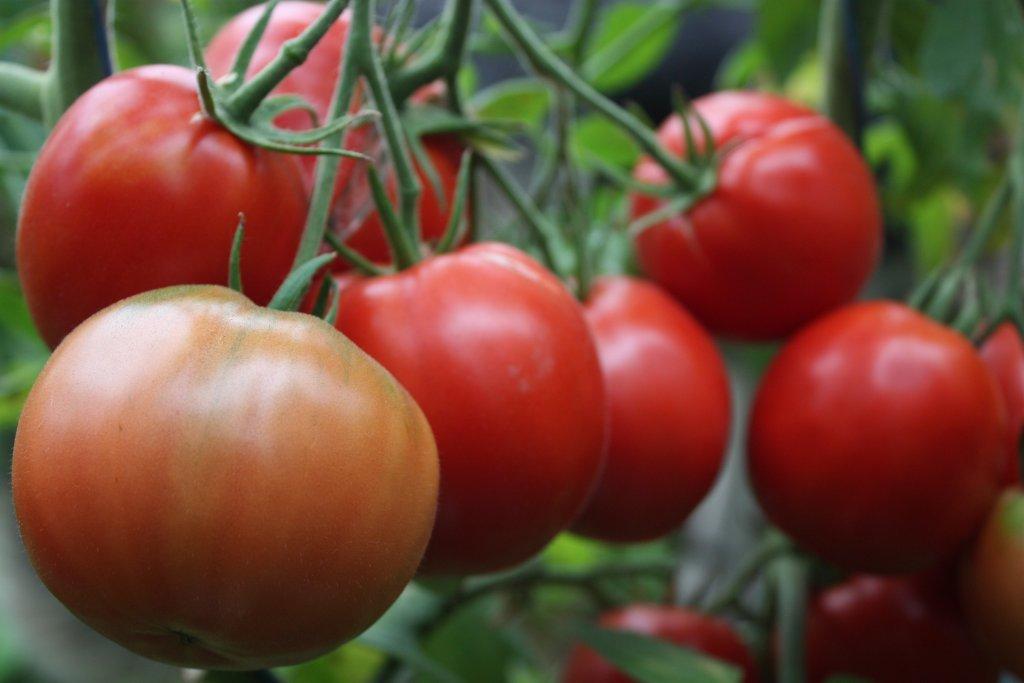 Orenburgas (tomātus sēklas, 20 gab.)