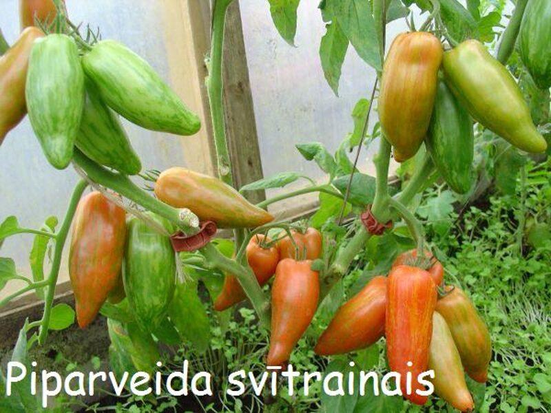 Zeltsvītrotais piparveida tomāts (stāds bez podiņa)