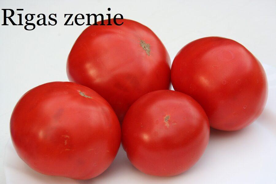Rīgas zemie (tomātu stāds podiņā)