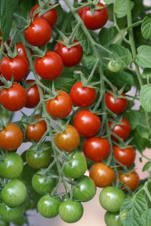 Ogu jeb cherry tomāti