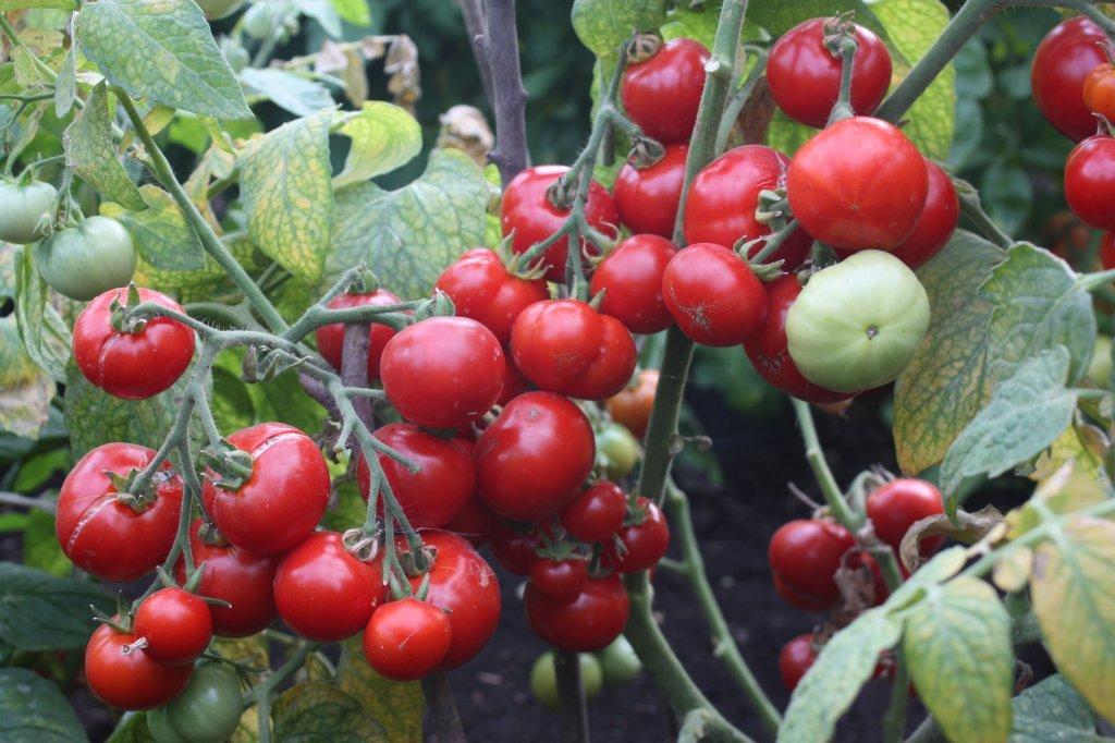Sarkangalvīte (tomātu sēklas, 20 gab.)