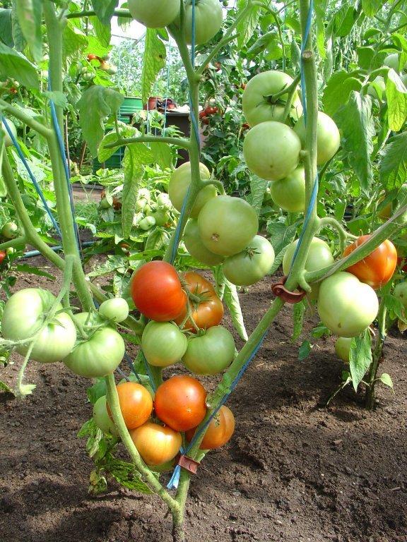 Agrais Sīriuss (tomātu sēklas, 20 gab.)
