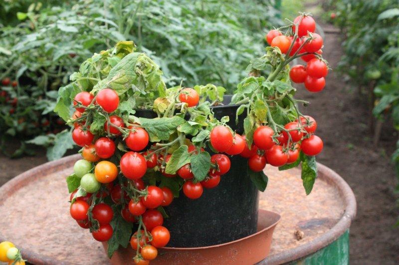 Sprīdītis, sarkans (tomātu sēklas, 20 gab.)