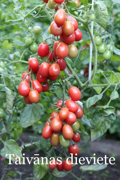 Taivānas dieviete (tomātu sēklas, 15 gab.)