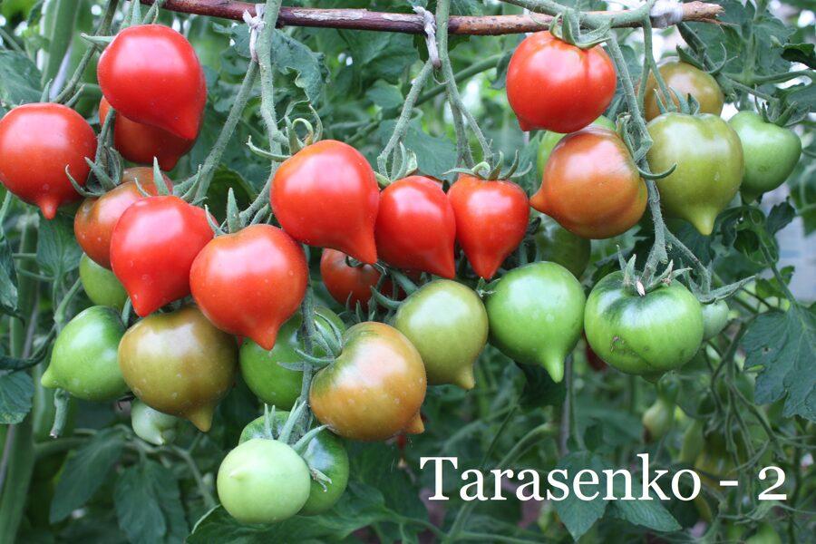 Tarasenko 2 (stāds podiņā)