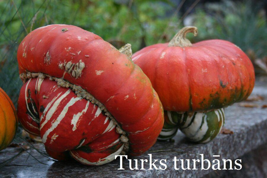 Turks Turbāns, ķirbis