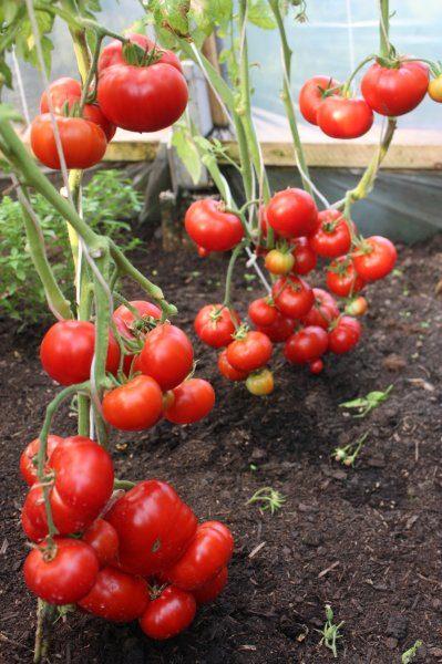 Voltebor (tomātu sēklas, 20 gab.)