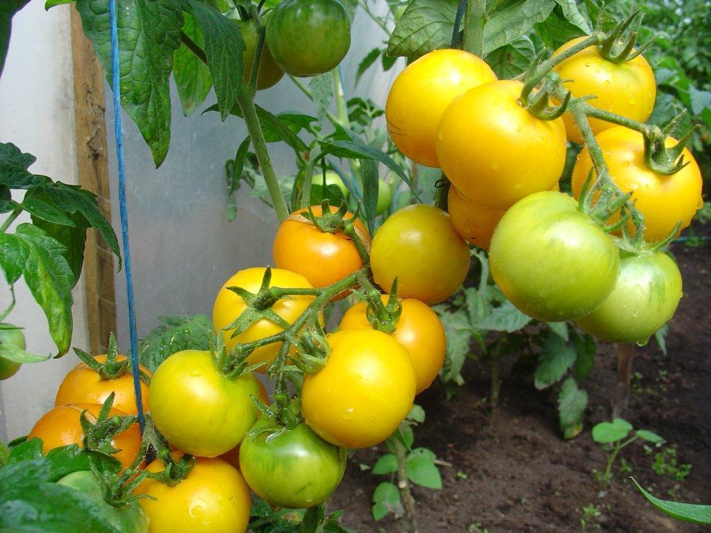 Ziemeļu dzeltenais (tomātu sēklas, 20 gab.)